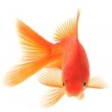 Ставкова риба