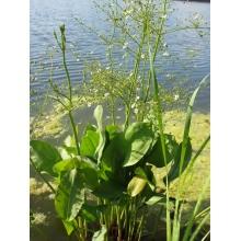 частуха подорожниковая (alisma parviflora)  Украина