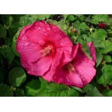 гибискус болотный (hibiscus moscheutos)