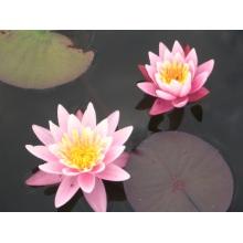 """nymphaea """"pink sensation"""" нимфея """"розовая сенсация"""" 007"""