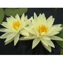 "nymphaea ""yellow sensation"" нимфея ""желтая сенсация"" 002"