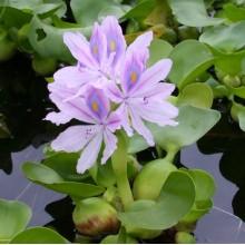 эйхорния 10 шт (водяной гиацинт)