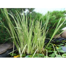 аир обыкновенный пестролистный (acorus calamus variegatus)