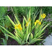 ирис аировидный вариегата (iris pseudacorus «variegata»)