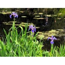 """ирис разноцветный """"iris versicolor"""""""