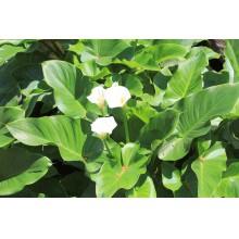 калла болотная (calla palustris)