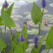 понтедерия сердцевидная (pontederia cordata)  (контейнер 1л.)