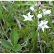 Вахта трехлистая (Menyanthes trifoliata)