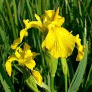 Ирис аировидный махровый (Iris pseudacorus).