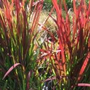 императа цилиндрическая ред барон (imperata cylindrica red baron).