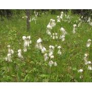 пушица узколистная (eriophorum angustifolium)