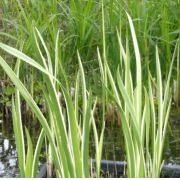 Аїр звичайний Ряболистий (Acorus calamus variegatus)