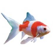 Рыбка Комета Сараса (11 - 13 см)