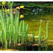Водяная сосенка, хвостник (Hippuris vulgaris)